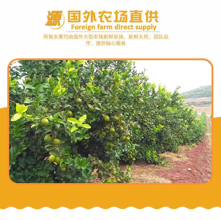 進口水果批發市場南非檸檬